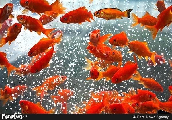 ماهی قرمز بخریم یا نخریم