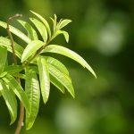 نگهداری و پرورش به لیمو